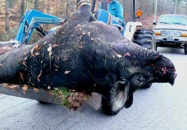 Pig Bomb 3